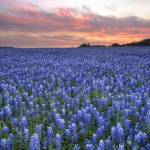 """Texas Bluebonnet Images - Turkey Bend Sunset 1"" by RobGreebonPhotography"
