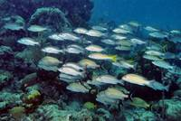 Cuban Fish Shoal