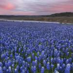 """Texas Bluebonnets in the Hill Country"" by RobGreebonPhotography"