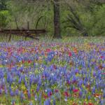 """Texas Wildflower Images - Luling Wildflowers 1"" by RobGreebonPhotography"