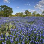 """Texas Wildflower Pictures - Bluebonnets and Cacti"" by RobGreebonPhotography"