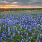 """Texas Wildflowers - Sunrise over Bluebonnet Field"" by RobGreebonPhotography"