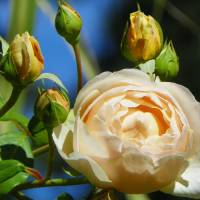 Rose Flower Art Prints & Posters by Capturing Nature