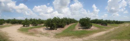 Citrus Grove_Panorama