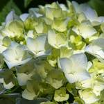 """Pastel Green Blue White Hydrangea Flower Petals"" by BasleeTroutman"
