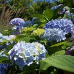 """Hydrangeas Flower Art Prints Blue Green Lavender"" by BasleeTroutman"
