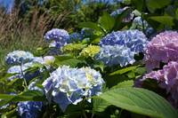 Hydrangeas Flower Art Prints Blue Green Lavender