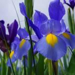 """Irises Flowers Garden Purple Blue Art Prints"" by BasleeTroutman"