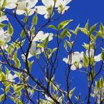 """Vivid Blue Sky White Dogwood Flowers Tree Spring"" by BasleeTroutman"