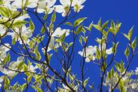 Vivid Blue Sky White Dogwood Flowers Tree Spring