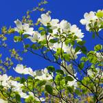 """Dogwood Flowers Tree Art Prints Blue Sky Garden"" by BasleeTroutman"