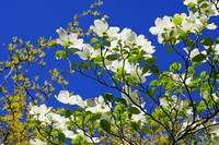 Dogwood Flowers Tree Art Prints Blue Sky Garden