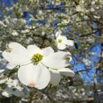 """A Dogwood White 5M Dogwoods Tree Flowers Blossoms"" by BasleeTroutman"