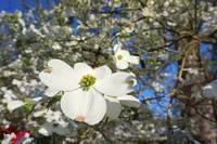 A Dogwood White 5M Dogwoods Tree Flowers Blossoms