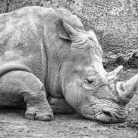 Rhino Art Prints & Posters by Paul Coco