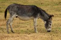 Gray Donkey in a Farmers Pasture