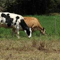 Cattle in a Pasture Art Prints & Posters by Robert Hamm
