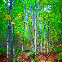 Birch Trees in the Woods Art Prints & Posters by Kirt Tisdale