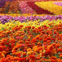 Carlsbad Flower Fields Art Prints & Posters by Donna Pagakis