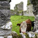 """Cow in Ballybeg Priory"" by reganrose"