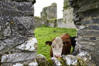 Cow in Ballybeg Priory