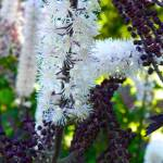 """Actaea simplex Pink spike"" by vpicks"
