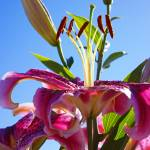 """Lilies Flowers Art Prints Floral Blue Sky Garden"" by BasleeTroutman"