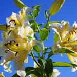 """Lilies Flowers Floral Art Prints blue Sky Yellow L"" by BasleeTroutman"