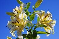 Lilies Flowers Floral Art Prints blue Sky Yellow L