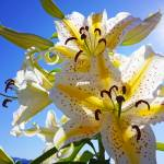 """""""Yellow White Sunlit Lily Flowers Lilies Art prints"""" by BasleeTroutman"""