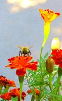 Busy Bumblebee working the Marigolds