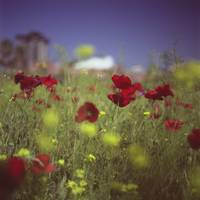 Red wild flowers poppies urban city