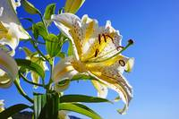 Lily Flower White Yellow Pastel Lilies art prints