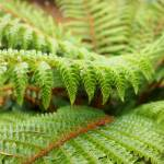 """Green Forest Fern Art Prints Ferns nature"" by BasleeTroutman"