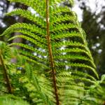 """Sunlit Bright Green Forest Fern Fronds Art"" by BasleeTroutman"