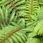 """Ferns Fronds Leaves Art Prints Forest Fern"" by BasleeTroutman"