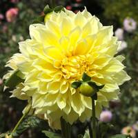 Bright Yellow Dahlia