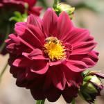 """Bee on Red Dahlia"" by Groecar"