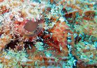 scorpion fish eye