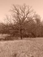 Pecan Tree in sepia