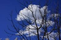 Winter Tree Branches Blue Sky art White Clouds