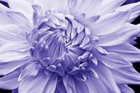 Overlapping Dahlia Petals (Purple)