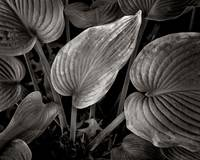 Sunlit Wilted Hosta Leaf (Browntone)