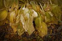 Torn And Wilted Hosta Leaves 2007