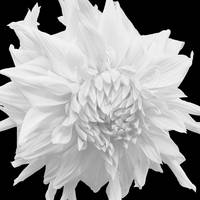 White Frilled Dahlia