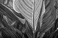 Backlit striped Canna Leaf