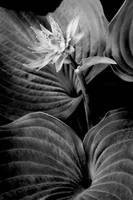 Hightlighted Hosta Flower