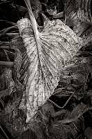 Decomposing Hosta Leaf