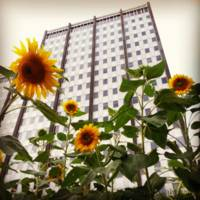 Love Park Sunflowers