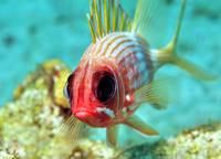 Soldierfish Eyes